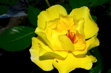 liczne: Yellow rose. Prickly bush or shrub with yellow fragrant flowers, native to North temperate regions. Numerous hybrids and cultivars have been developed and widely grown as an ornamental.