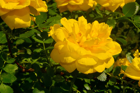 developed: Yellow rose. Prickly bush or shrub with yellow fragrant flowers, native to North temperate regions. Numerous hybrids and cultivars have been developed and widely grown as an ornamental.