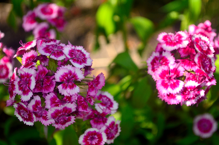 refined: Carnation - beautiful flower refined form called divine.