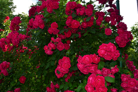 especially: Red rose. Climbing roses look very elegant and beautiful, especially when highly twisted the fence. This rose is very abundant blooms red flowers that are large bunches hanging from the fence.