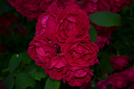 abundant: Red rose. Climbing roses look very elegant and beautiful, especially when highly twisted the fence. This rose is very abundant blooms red flowers that are large bunches hanging from the fence.