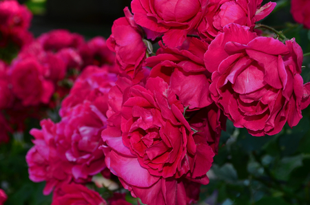 bunches: Red rose. Climbing roses look very elegant and beautiful, especially when highly twisted the fence. This rose is very abundant blooms red flowers that are large bunches hanging from the fence.