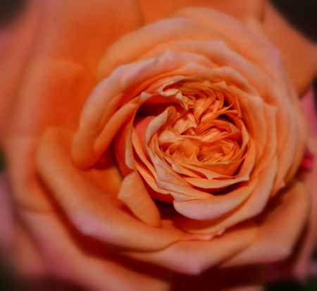 easily: Macro rose. Orange rose as close and photographed. You can easily view and its core rose petals close to a lot of beautiful.