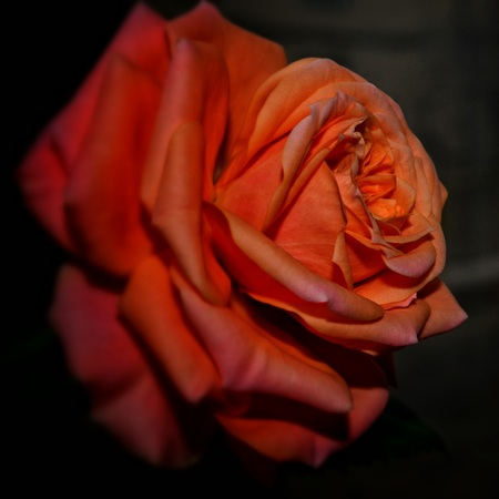 easily: Macro rose in retro style. Orange rose as close and photographed. You can easily view and its core rose petals close to a lot of beautiful.