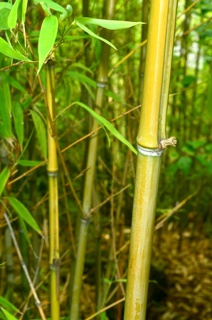 enhances: Bamboo. High and flexible tropical and subtropical plants with a strong and solid hollow stems. Bamboos are grown mostly for their foliage and anything that enhances that effect is worth having. Stock Photo