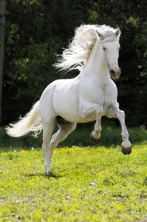 white horse runs gallop on the meadow
