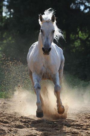 the runs: white horse runs gallop in dust