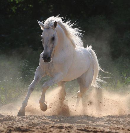 biały koń w kurzu, las