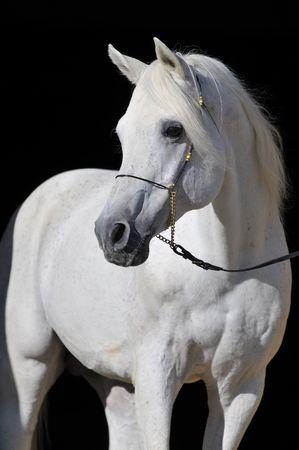 white arabian horse stallion portrait isolated on black Stock Photo