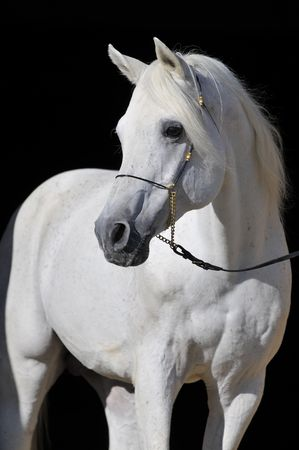 white arabian horse stallion portrait isolated on black Stock Photo