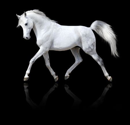 dressage: white horse runs trot, isolated on black background