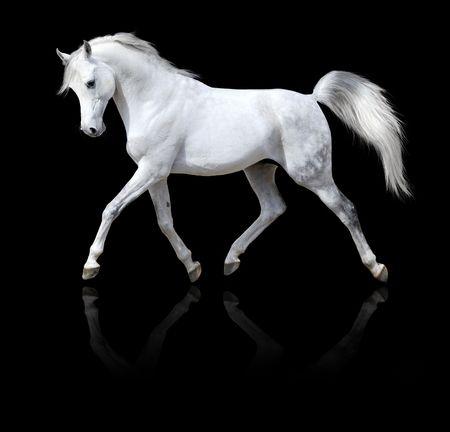 drafje: witte paard loopt draf, geïsoleerd op een zwarte achtergrond