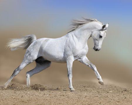 white horse stallion runs gallop, collage paint photo