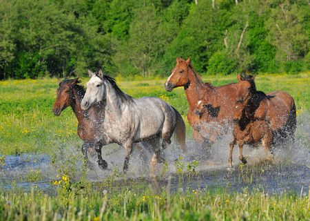 Horses run on water with splashes on a meadow Stock Photo