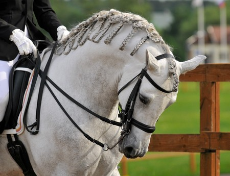 equestrian: dressage pura raza espanola andalusian white horse