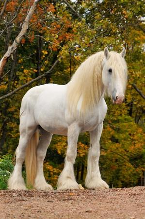 White shire draft horse portrait in autumn photo