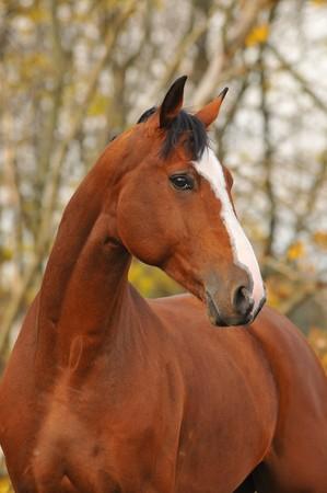 bay horse portrait in autumn photo
