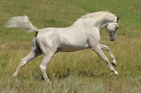 � fond: blanc cheval arabian ex�cutant galop sur la prairie