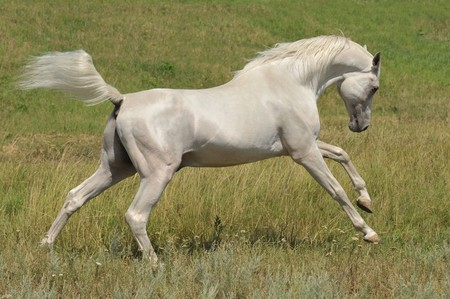 thoroughbred horse: white arabian horse running gallop on the meadow