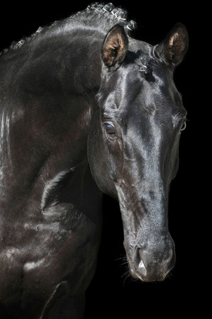 Portrait of a black horse isolated on dark background photo