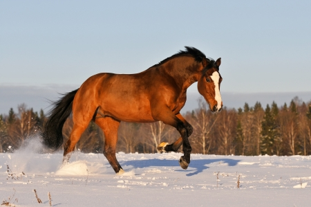 bay horse in winter runs gallop on forest background photo
