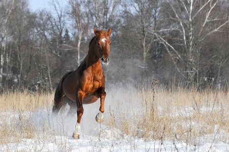 red horse in winter runs gallop on forest background photo
