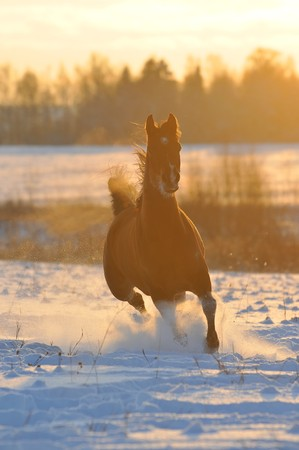 gold bay horse in winter runs front photo