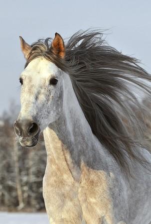 witte paard galop uitvoeren in de winter