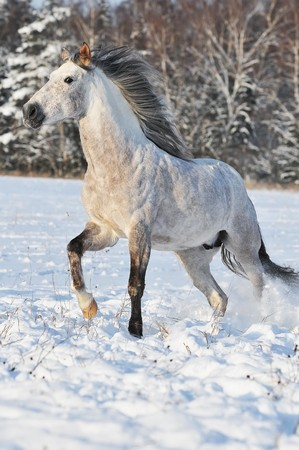 white horse runs gallop in winter Stock Photo - 6938822