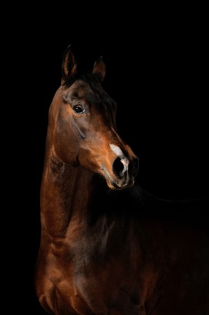 black horses: Portrait of a bay horse on a black background Stock Photo