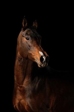 caballos negros: Retrato de un caballo de Bah�a sobre un fondo negro