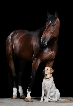 brown labrador: bay horse and dog on the black background