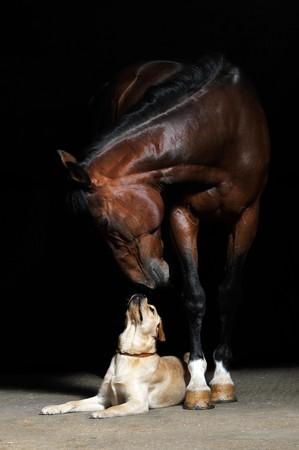 caballo negro: Bah�a de caballos y de perros en el fondo negro  Foto de archivo