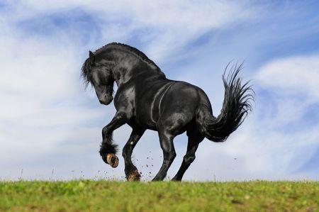 caballo negro: juego de caballo negro en la pradera