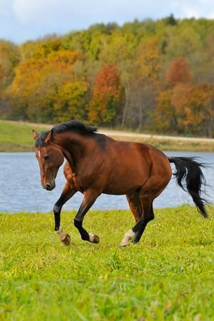 The bay horse in autumn runs gallop