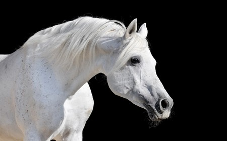 domestic horse: white arabian horse stallion portrait isolated on black Stock Photo