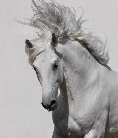wild hair: Ritratto di cavallo bianco su sfondo grigio