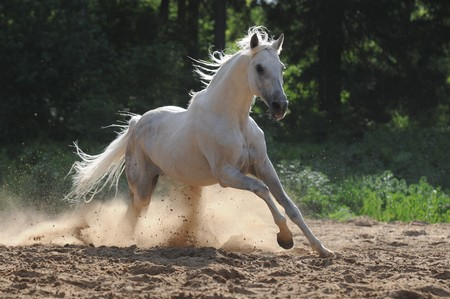 the runs: white horse runs gallop in dust  Stock Photo