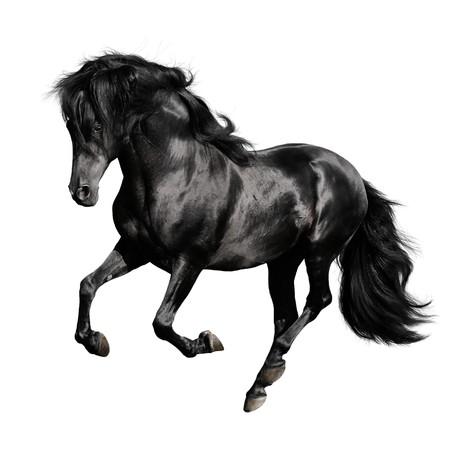 dressage: black horse pura raza espanola runs gallop isolated on white background  Stock Photo
