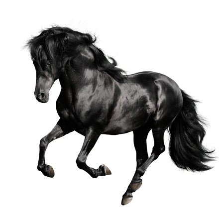 black horse: espanola de raza pura de caballo negro ejecuta galope aislado sobre fondo blanco
