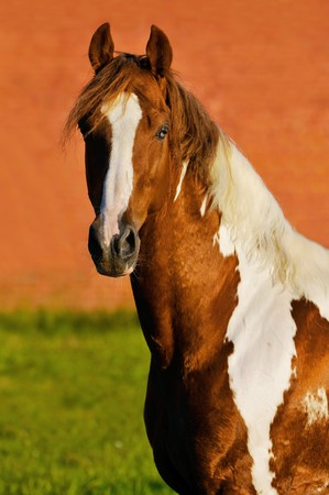 The tennessee walking paint horse