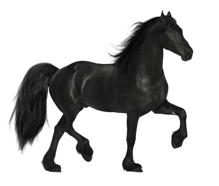 dressage: black friesian horse isolated on white