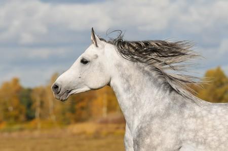 witte paard lopen galop van de weide