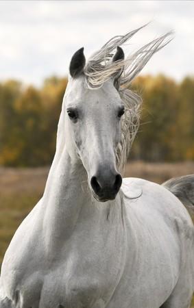 caballo: caballo blanco ejecutar galope en otoño Foto de archivo