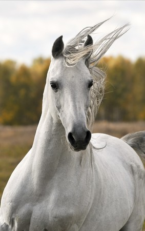 horse riding: white horse run gallop in autumn Stock Photo