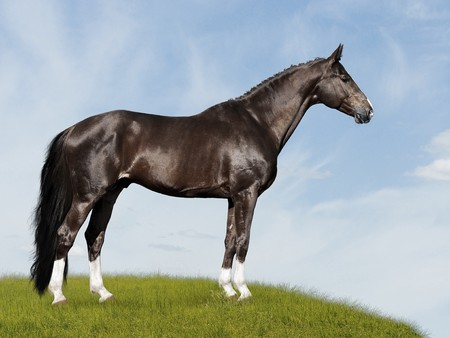 trakehner: black horse on the blue and green background, on the meadow