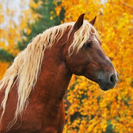 portrait de cheval rouge
