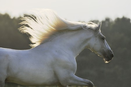 andalusian: white horse run gallop Stock Photo