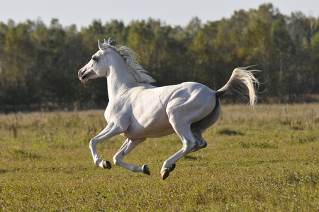 head in the sand: white arabian horse running gallop on the meadow