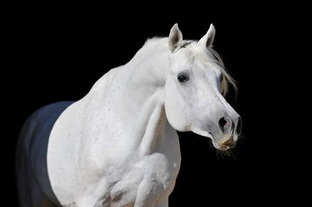 stallion: white arabian horse stallion portrait isolated on black  Stock Photo